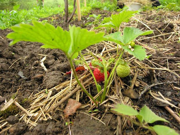 Земляника уже дала первый урожай, хотя.  Скорее всего, рассаду выращивали в теплицах, и ягоды начали созревать давно.