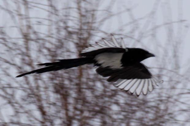сорока летит