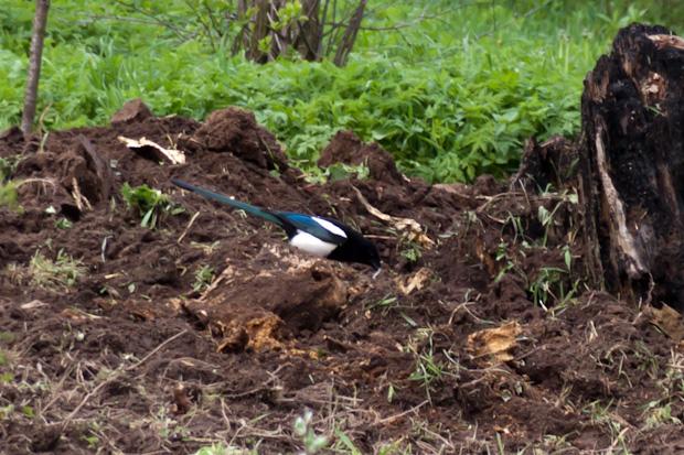 сорока копается в земле