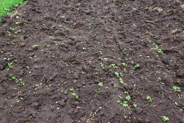 сорняки на огороде