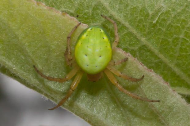 зелёный паук