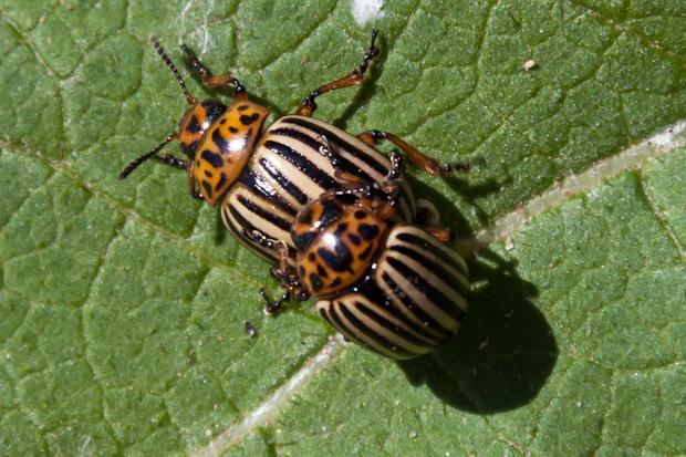 колорадский жук спаривается