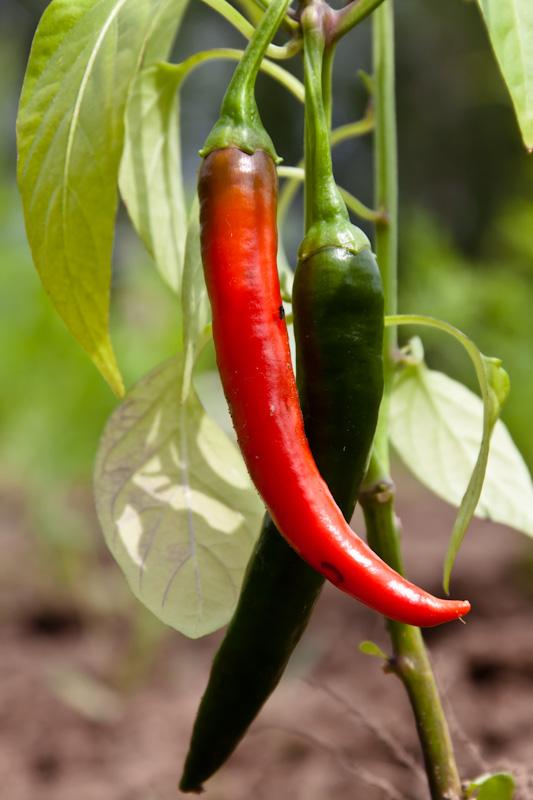 красный и зелёный перец