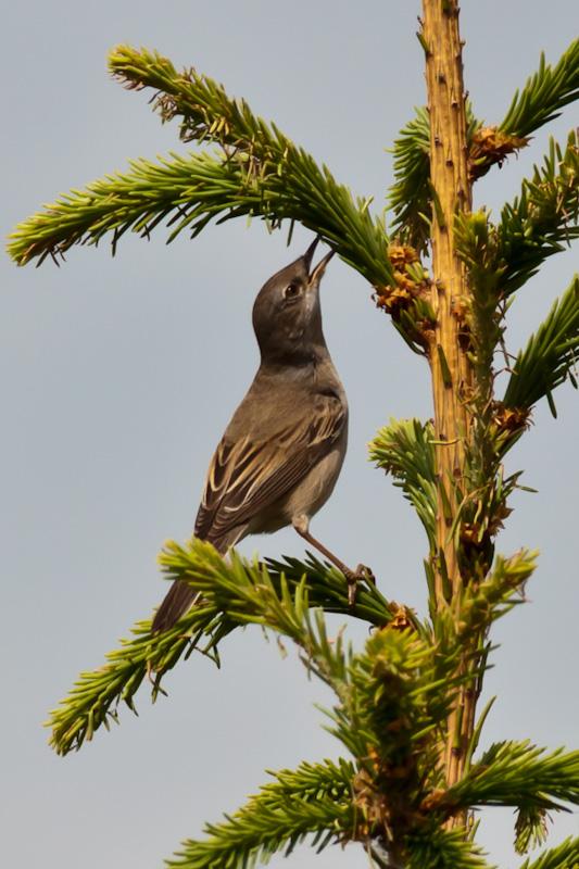 птица объедает ёлку