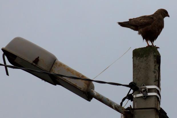 орёл обосрался