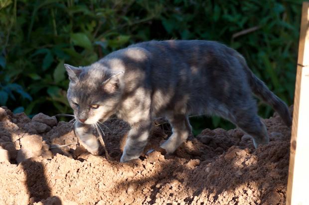 деревенский кот