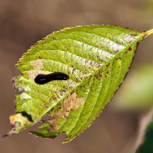 слизняк на листве