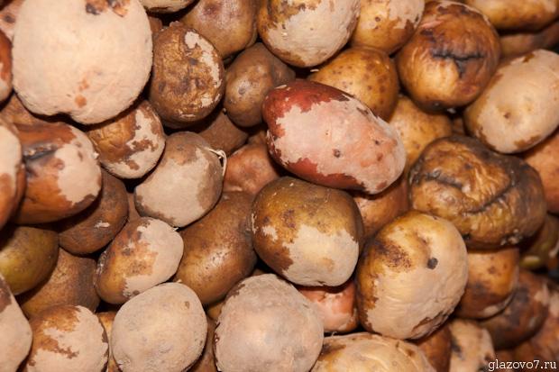влажный картофель в хранилище