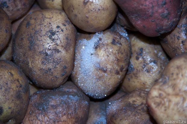 иней на картофеле