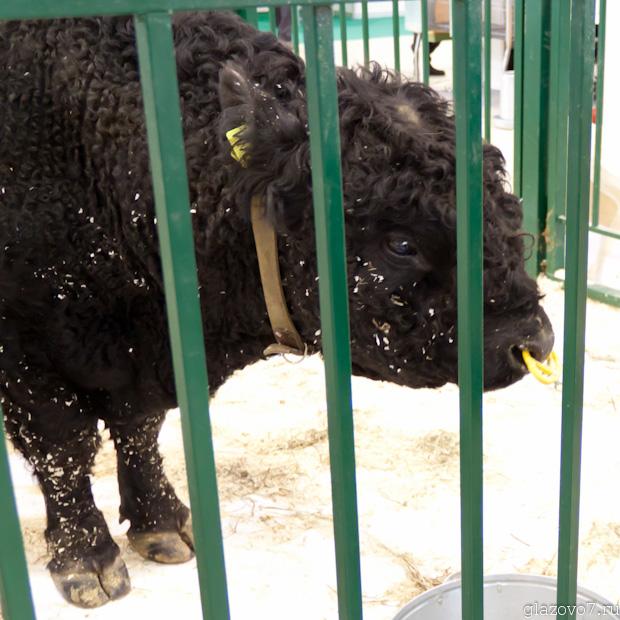 Бык-производитель, Галловейская порода, V173, 670 килограмм, 2 года 3 месяца.