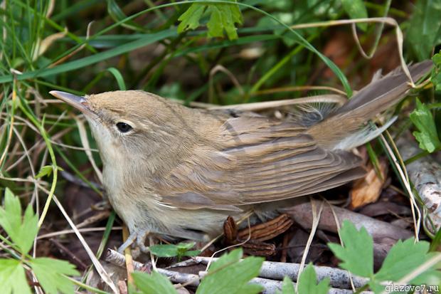 Что за птичка, кто знает?