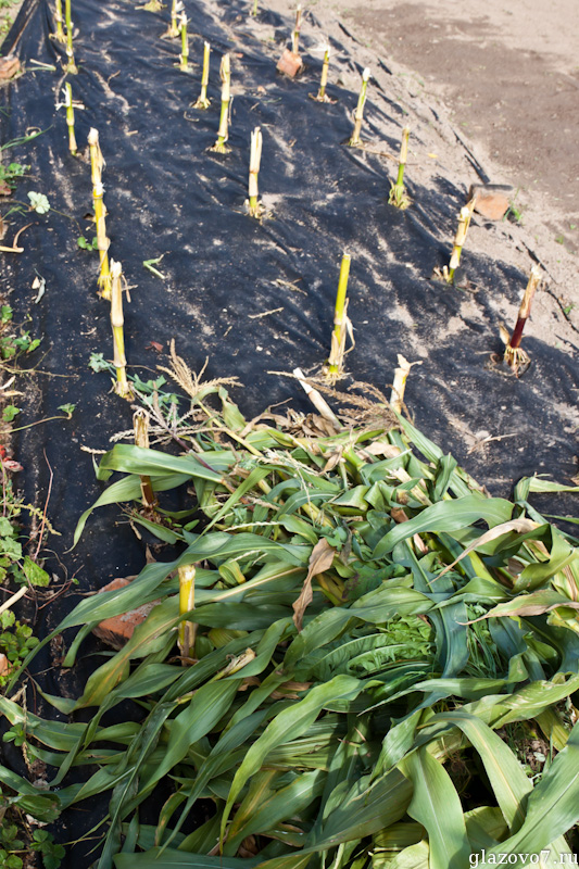 кукуруза росла на спанбонде