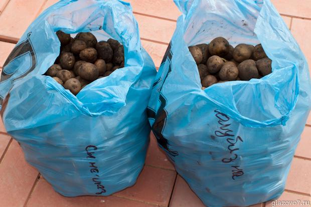 рассада картошки Синеглазка и Голубизна