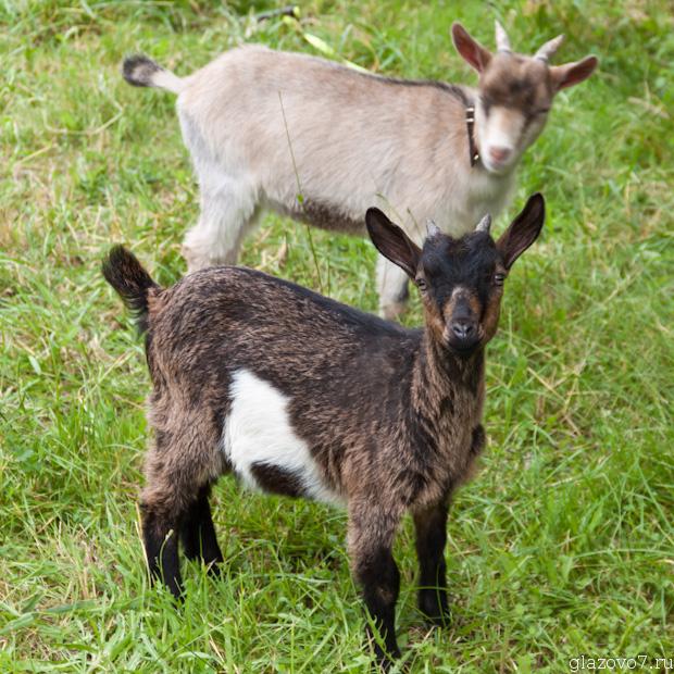 Камерунские карликовые козы