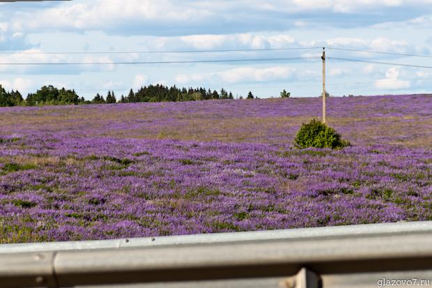 На подъезде к Солнечногорску целое поле до горизонта зацвело фиолетовым цветом