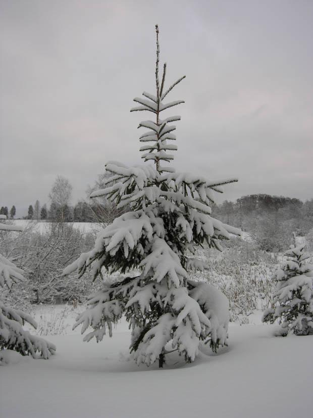 Ёлка под снегом
