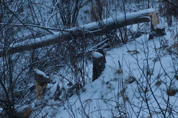Бобры свалили дерево