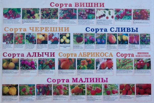 сорта вишни, черешни, сливы, алычи, абрикоса, малины