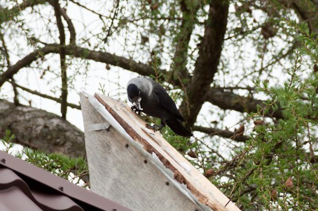 ворона изоспан жрёт