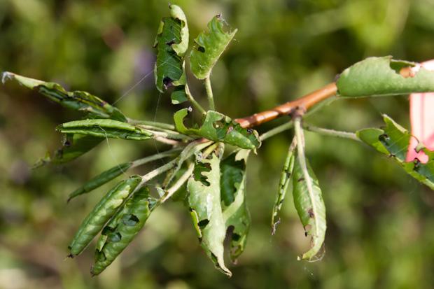 поеденная листва долгоносиком