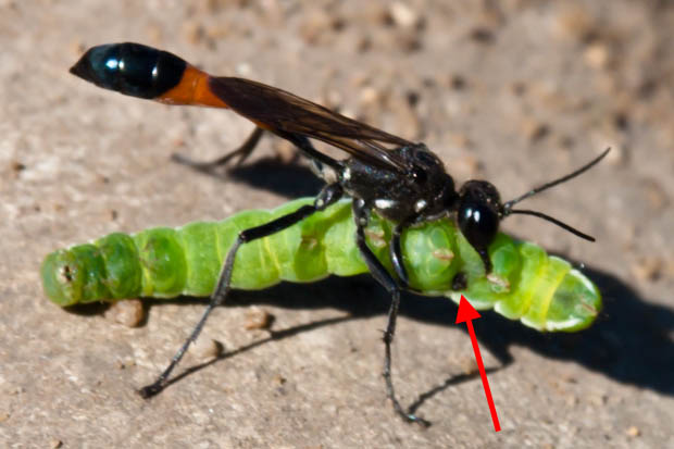 оса напала на гусеницу