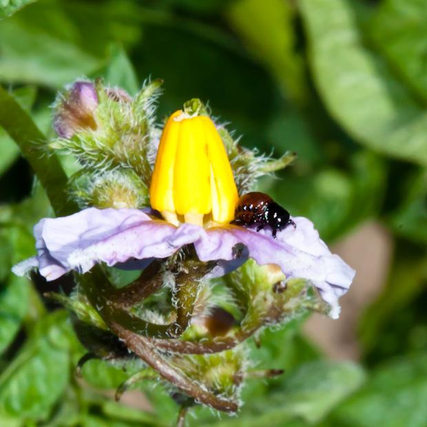 колорадский жук ест цветок картофельный