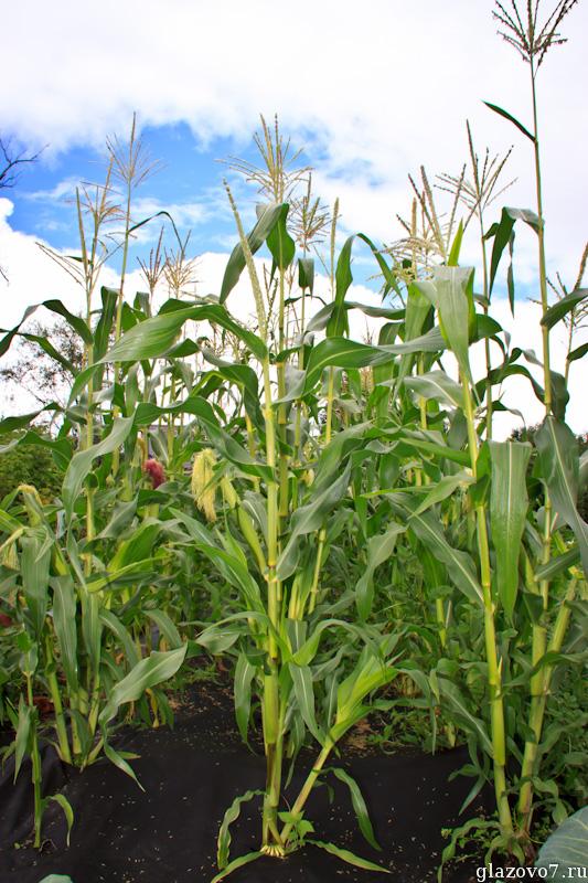 кукуруза на спанбонде