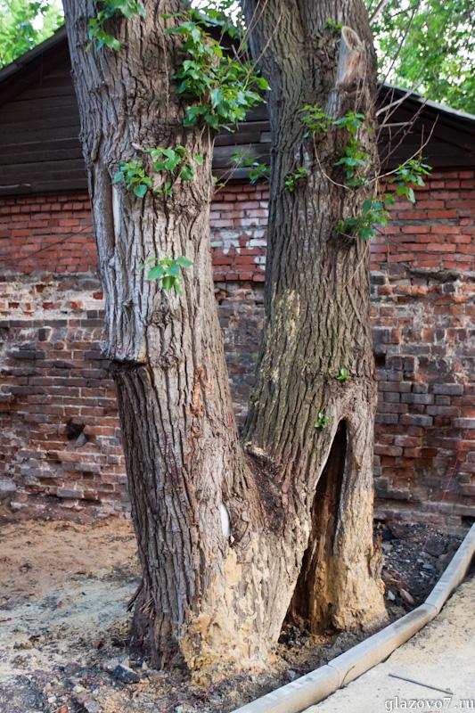 дерево с кладом